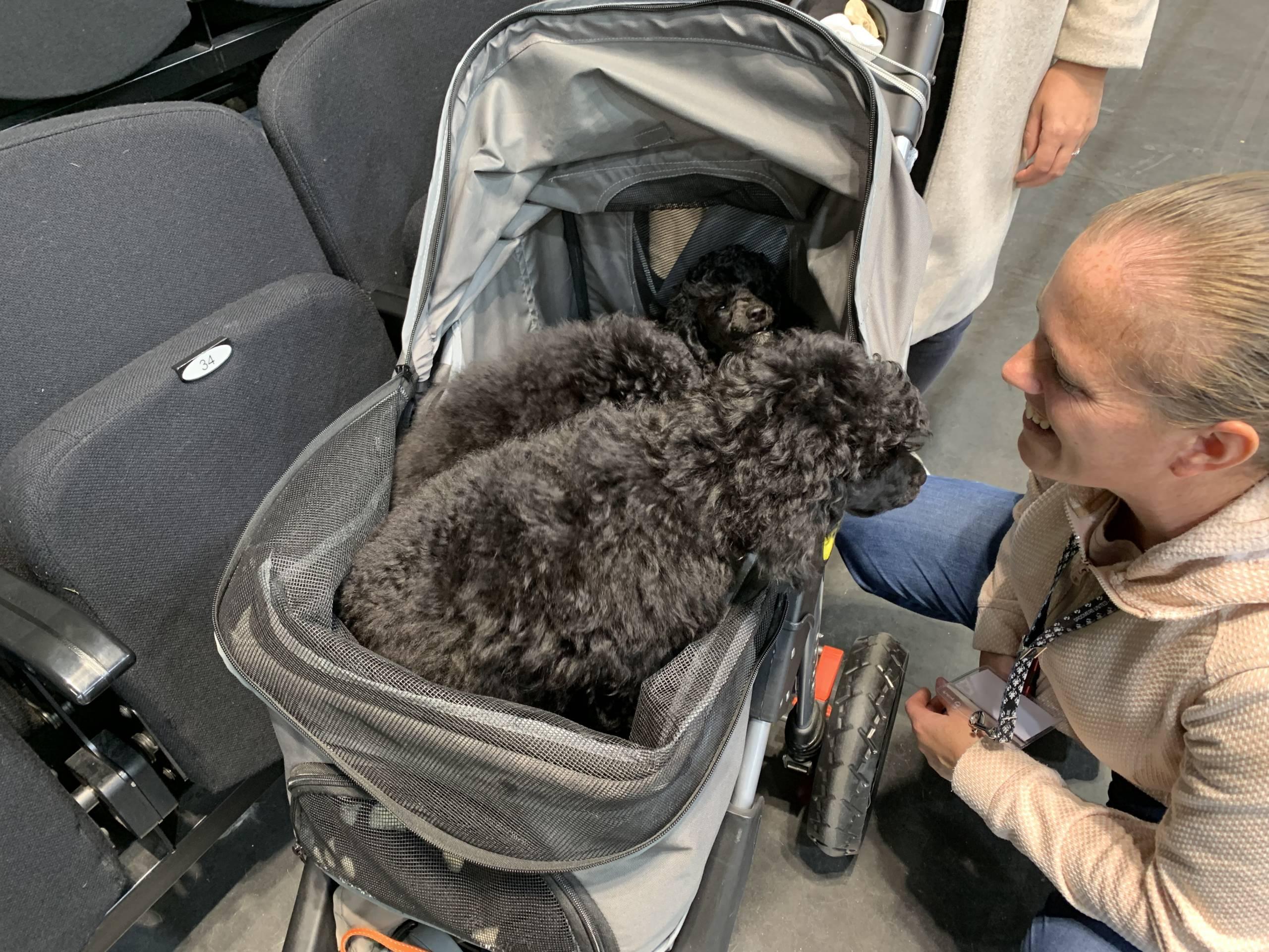 poedel pups