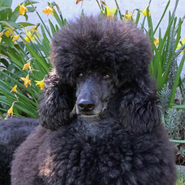 poedel-pup